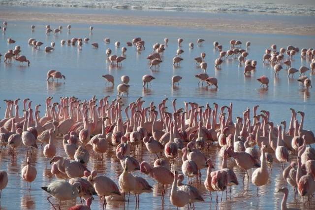 Balzende Flamingos in der Laguna Colorada Bolivien