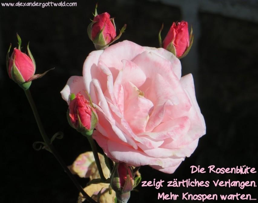 Die Rosenblüte Haiku Alexander Gottwald