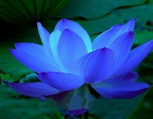 Lotus Blau Awakened Living