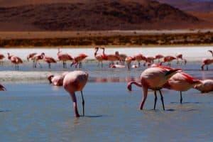 Flamingos Lagunen Bolivien
